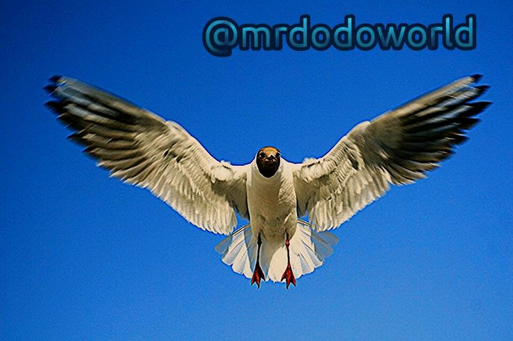 Flying Seagull  #seagull #bird #sea #thebalticsea #baltic #balticsea #sky #birds #birdslovers #lovetofly #flying #fly #wings #photography #photooftheday #loveflying #flywings #seagulllovers  for more wonderful photos please follow me on indtagram : @mrdodoworld