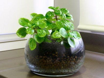 Planta del dinero parte i cuidado de plantas del for Planta del dinero feng shui