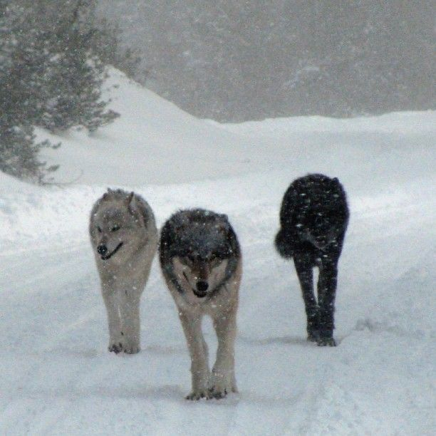 "Photo from U.S. Interior's instagram account: ""You never know what might be around the next bend in the road. Really cool shot of three wolves in Yellowstone National Park. Photo: Kristi Daling"""