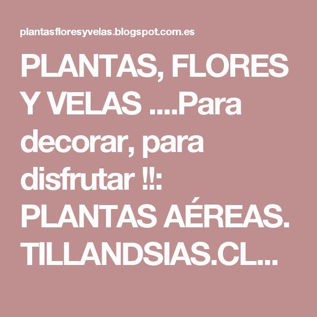 PLANTAS, FLORES  Y VELAS ....Para decorar, para disfrutar !!: PLANTAS AÉREAS. TILLANDSIAS.CLAVEL DEL AIRE.