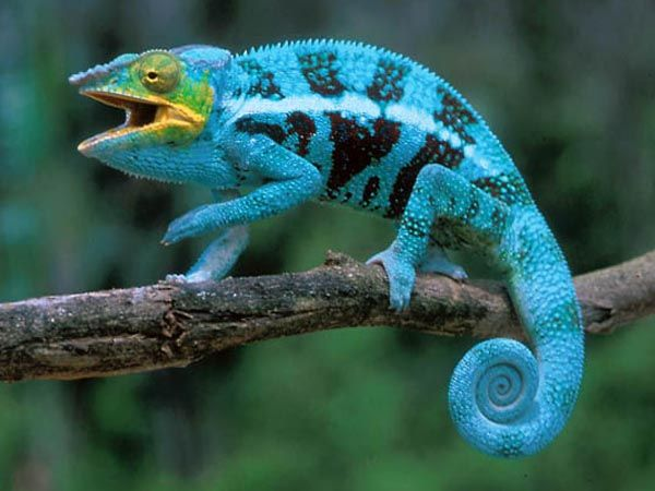 Chamaeleonidae (camaleonti) - IvanPerciballi.com