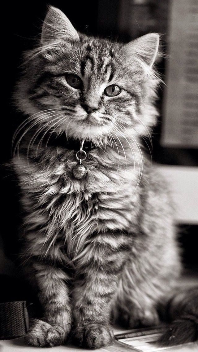 Pin By Sonia Dejoux On My Cats In 2020 Cute Cat Wallpaper Cat Wallpaper Cats