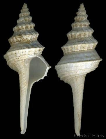 Coluzea radialis   (Watson, R.B., 1882)  Radial Pagoda Shell  Shell size 35 - 90 mm    S America; SW Africa