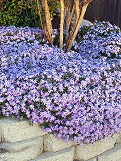 Beautiful Ground Cover Ideas... one of my favorite plants