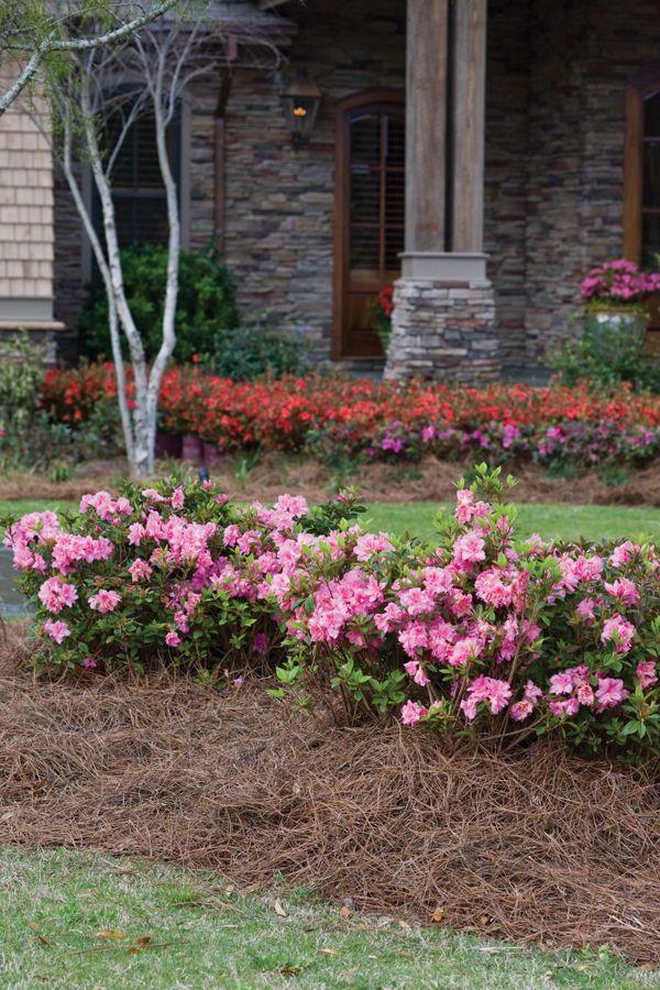 How To Get More Encore Azalea Blooms Azaleas Landscaping Azaleas Garden Azaleas Care