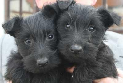 Scottish terrier pups  Looks exactly like my little man as a baby!