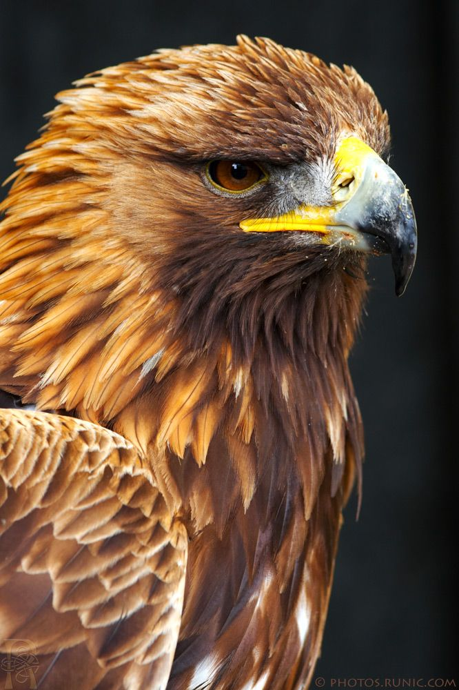 Golden Eagle - by runique on deviantART