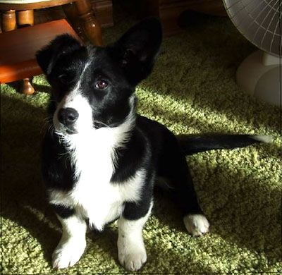 Borgi Information and Pictures Border Collie / Pembroke Welsh Corgi Hybrid Dogs  This is my next dog!