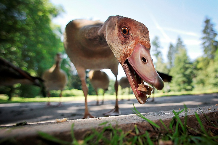 A hungry Egyptian goose gobbles up a chunk of bread on a public pathway at the spa gardens in Bad Schwalbach, Hesse, Germany on July 24, 2012.