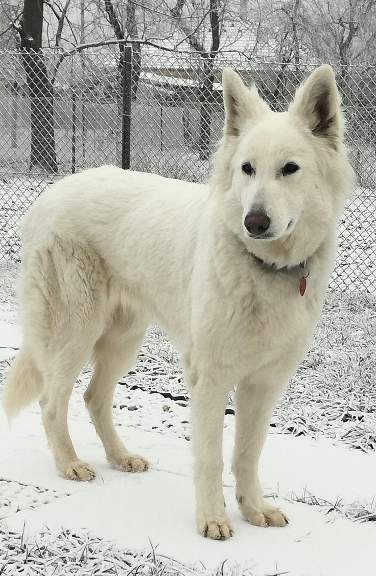 White Swiss Shepherd :-)