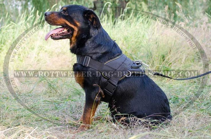 Well-Fitted Rottweiler Harness Causes No Discomfort