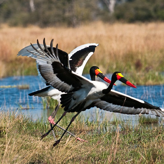Saddle Billed Storks   Kwando River