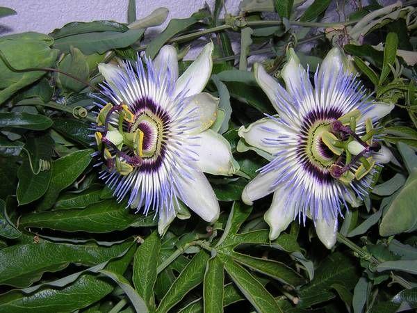 Isusov Venac Gajenje Passion Flower Plants Passiflora