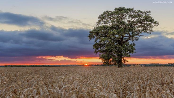 Zachód, Słońca, Lato, Drzewo, Łan, Zborza