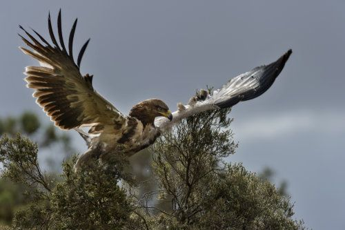 """""""Tawny Eagle (Aquila rapax)"""" by Paolo Gislimberti is a trending image on Snapgle! Share your best photos from Snapgle to get more votes and win the competition!"""