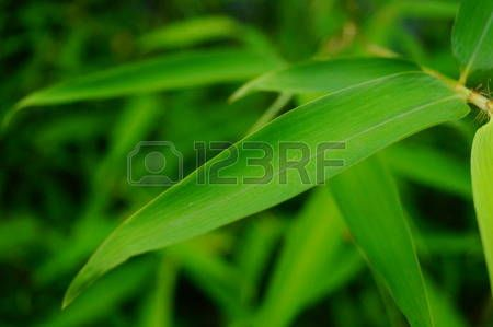 hojas de bambu: Hojas de bambú