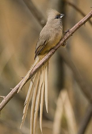 Speckled Mousebird ~ restricted to sub Saharan Africa