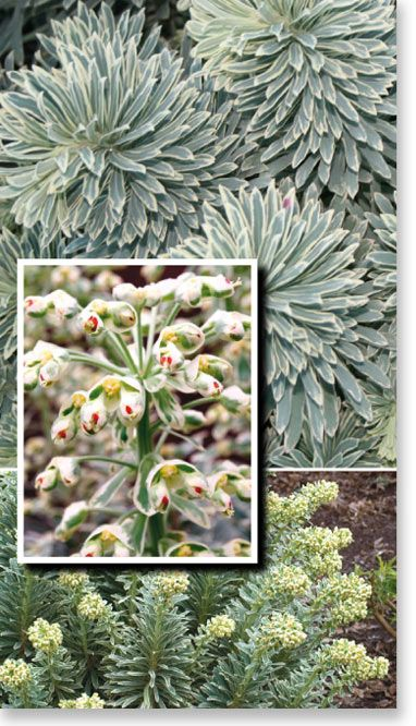 "Euphorbia ""Silver Swan"", grows 75cm x 75cm in full sun ,evergreen and hardy."