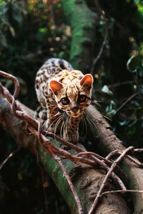 "(PHOTO: Corbis) Animals you probably didn't know existed Margay What is it? The margay is a solitary and nocturnal small cat native to Central and South America that has been listed as ""Near Threatened"" by the IUCN since 2008. Size: Body length 19 to 31 inches, and a tail length of 13 to 20 inches. Lives: From southern Mexico, throughput Central America and in northern South America east of the Andes. They are found almost exclusively in areas of dense forest. Eats: Small mammals"