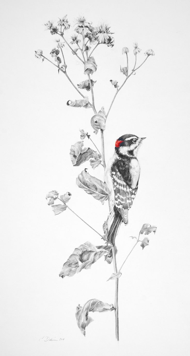 """""""Downy Woodpecker on Aster"""", pencil/watercolor"""