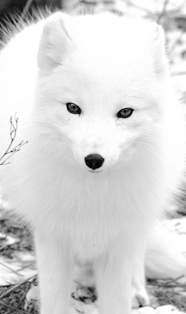 Arctic Fox (by Holly Fretwell on Flickr). Love the beautiful fluffy white fur!