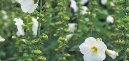 how to grow hollyhocks in containers