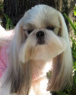 Shih Tzu Hair Styles for Male 4