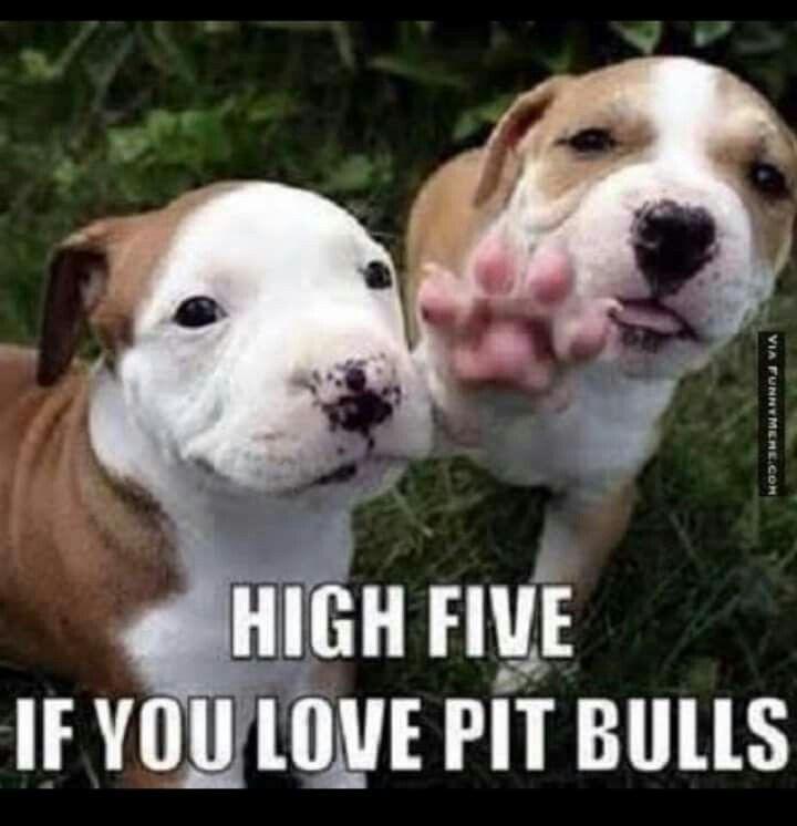 Pin By Kathryn Mawyer On Pitbulls Cute Animals Pitbulls Pets