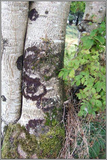 Irish Trees - Ash