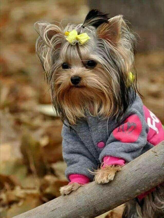 Pin By Darina Glavanakova On Dogs Yorkshire Terrier Puppies Yorkie Puppy Yorkshire Terrier