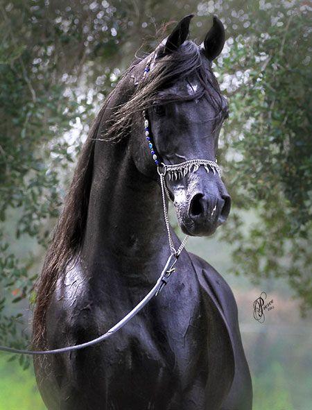 Arabian Stallion - Cenzio - Showbiz Arabians