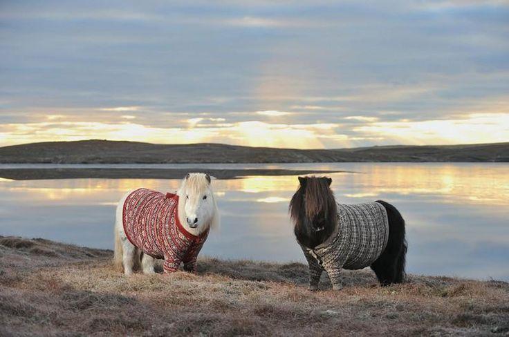 Очаровательные шетландские пони в свитерах