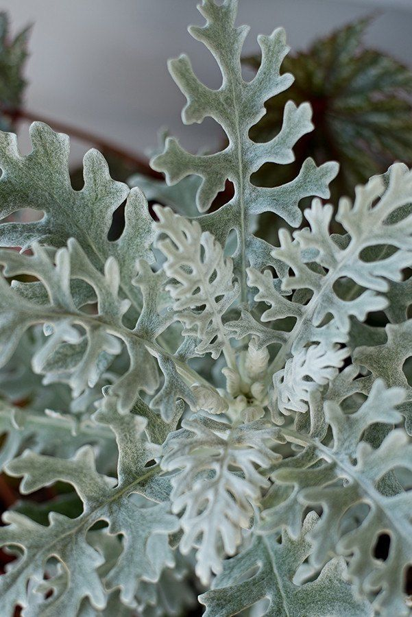 Perennial germ 5-10 days Standard plant seen in nurseries that is easy to grow yourself. Velvety textured, silver-white oak shaped leaves have a calming effect when planted among vibrant annuals in mi