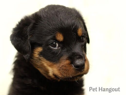Top 50 Adorable Girl Puppy Names You Need To Know Rottweiler