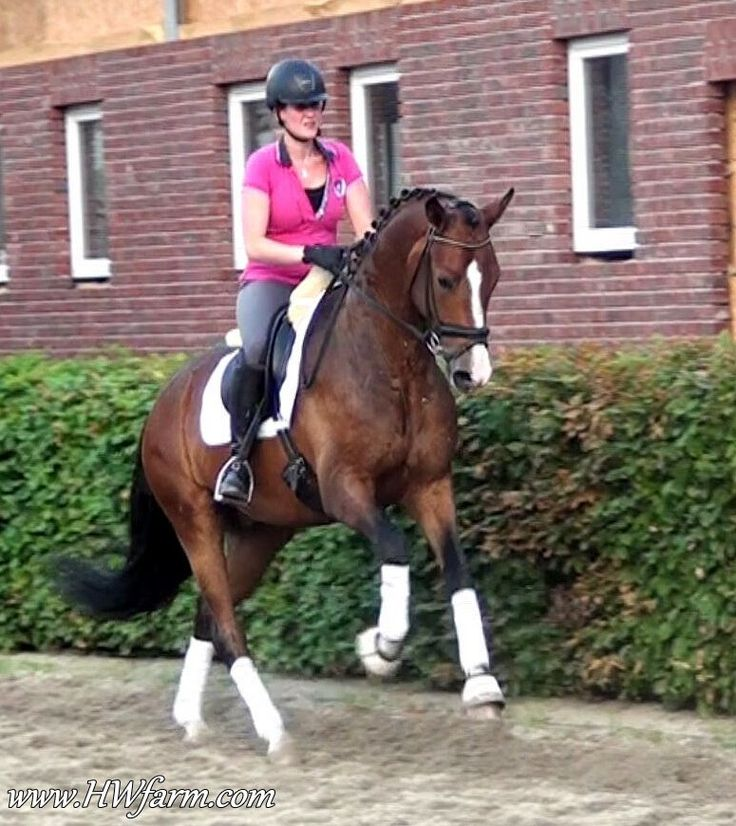 FineStep HW, Westphalian gelding by Florenciano/Medici, born in 2009, standing approximately 168 cm or 16.2 hands.  FineStep HW shows typical Florestan heritance, in looks, movement, brains, temperament, he's the total package. He will catch your attention with his beauty and elegance. He is a true eye candy, smart and willing to please. More info about him and other horses for sale at www.HWfarm.com
