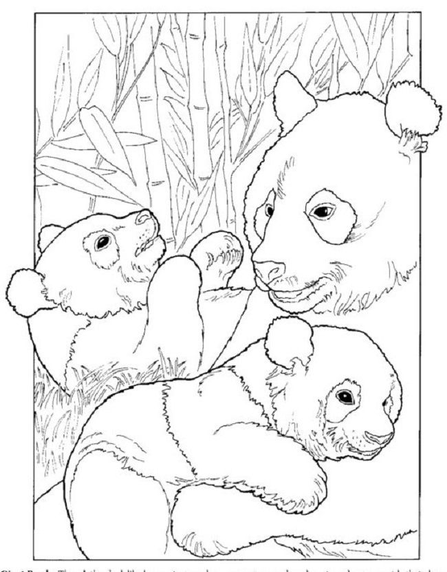 giant panda life cycle coloring page