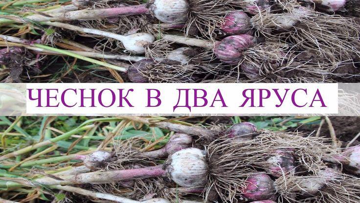 Чеснок в Два Яруса - Большой Урожай с Маленькой Грядки. Результат Экспер...