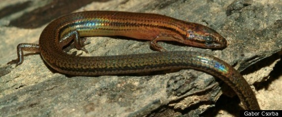 New lizard species found in Cambodia, Lygosoma veunsaiensis, has beautiful iridescent scales.
