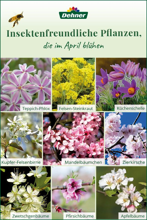 Insektenfreundliche Pflanzen Die Im April Bluhen Pflanzen Kuchenschelle Pfirsichbaum
