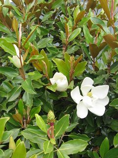 Magnolia grandiflora 'Little Gem'
