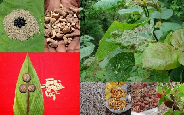 Medicinal Rice_-, I_PAO288293