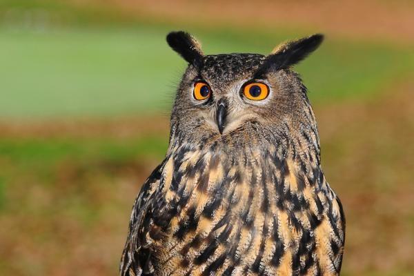 Diferencias Entre Buho Y Lechuza Lechuzas Owl Buho Real