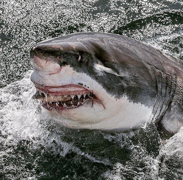 Greatwhite attacks bait