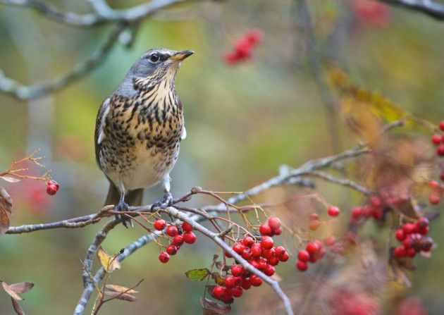 The striking fieldfare makes Yorkshire its home each winter, feasting on our hedgerow berries as soon as they make landfall