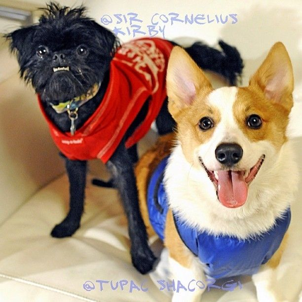 Love corgis but his friend is one of the ugliest dogs i've ever seen. I really want a butt-ugly dog now. #goofballs