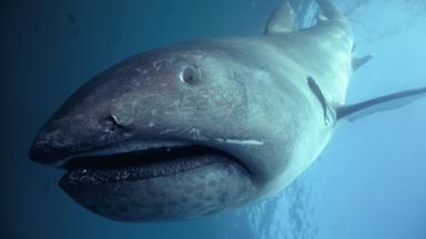 History of Sharks -Megamouth sharks are rarely seen (Credit: Bruce Rasner/NPL)