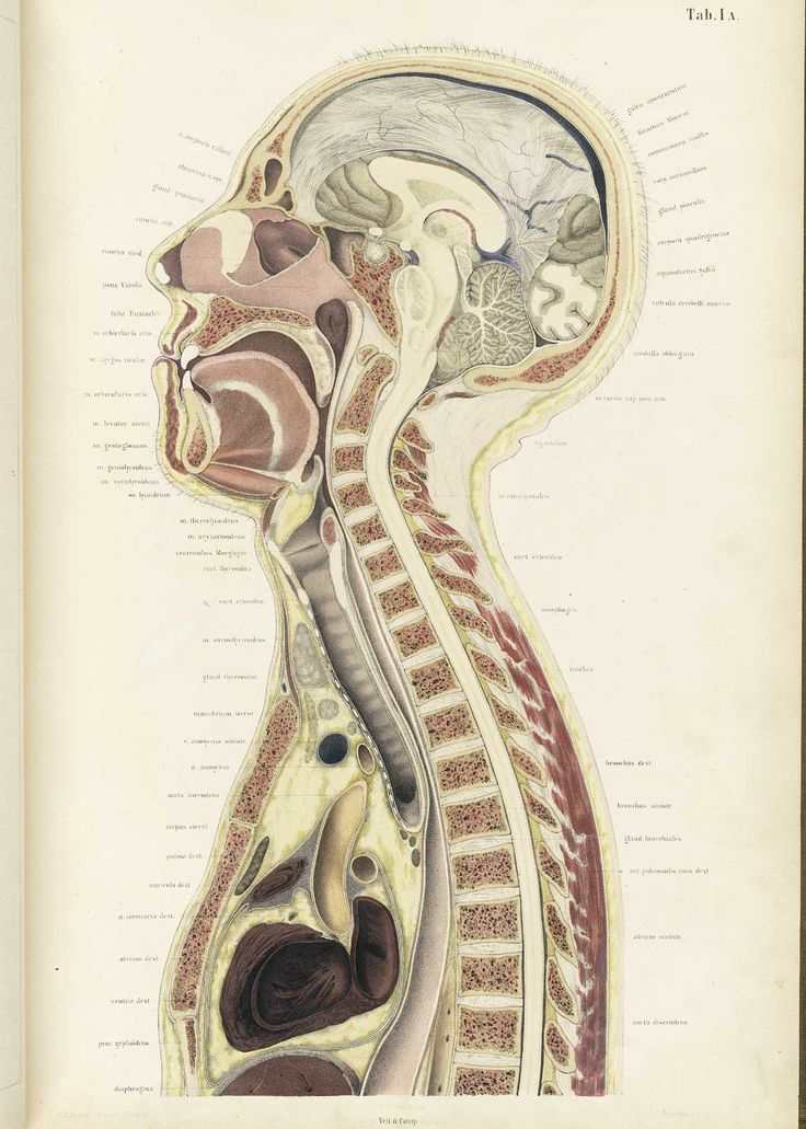 Adult male head and thorax cross-section, from Wilhelm Braune's Topographisch-anatomischer Atlas. Leipzig, 1867.