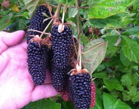 "Exciting news for berry producers a new blueberry and blackberry varieties have recently been released to the public the Baby Blue and Columbia Giant. ""The industry has exploded and there's so....."