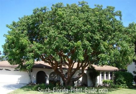 A Native Of South Florida The Gumbo Limbo Tree Is Big And