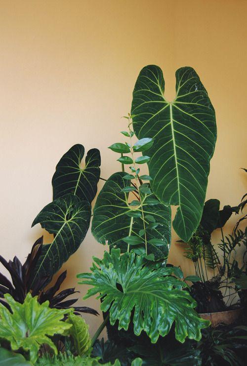 Elephant ears indoor plant